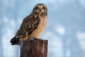 PHOTO COURTESY QUENTIN YOERGER The Independent-Register Winter is a good time to get a glimpse of owls, accord-ing to area bird expert Quentin Yoerger. The short-eared owl is shown above.