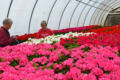 MARY HOOKHAM PHOTO The Independent-Register Workers at Ahrens Acres of Brodhead clean early geranium blooms in a greenhouse last week. With the weather warming, it's an ideal time to think about spring planting.